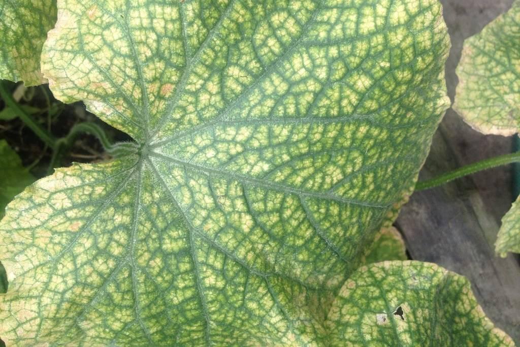 Почему листья огурцов закручиваются вовнутрь и что делать