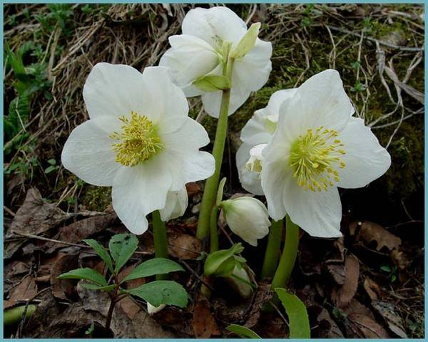 Морозник: посадка и уход, виды и сорта, особенности выращивания в открытом грунте, фото, отзывы садоводов