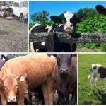 Почему корова или теленок потеют