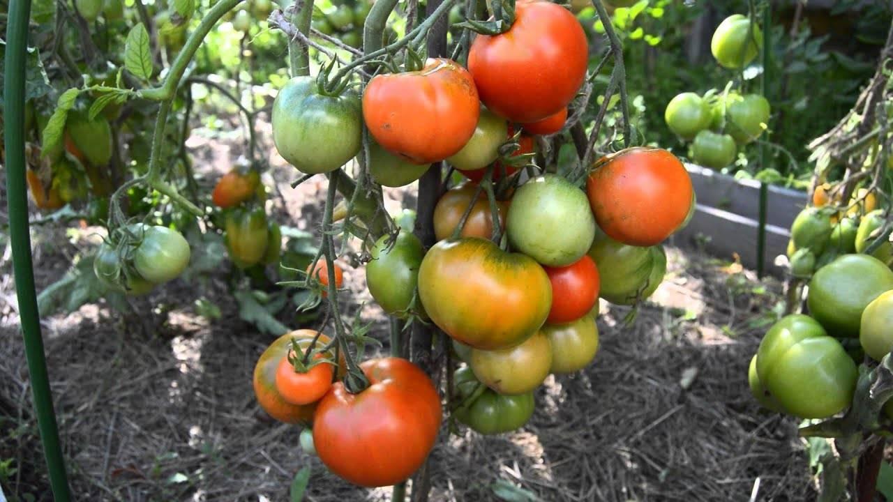 Томат «дубрава»: характеристика и описание сорта, особенности выращивания, отзывы