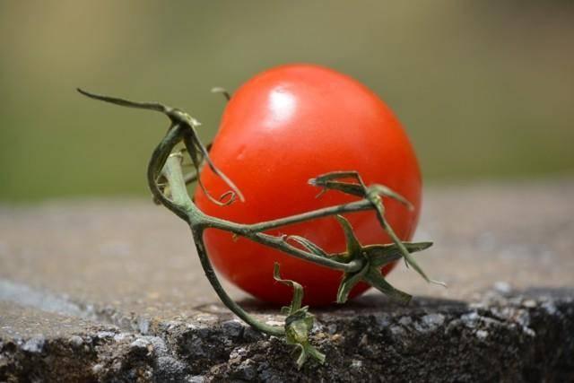 Характеристика и описание сорта томата Белый налив, урожайность и выращивание