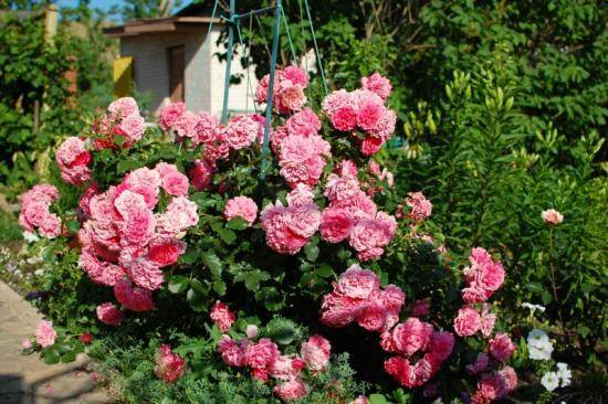 Почему принято считать розариум ютерсен розой для ленивых. описание и отзывы о сорте