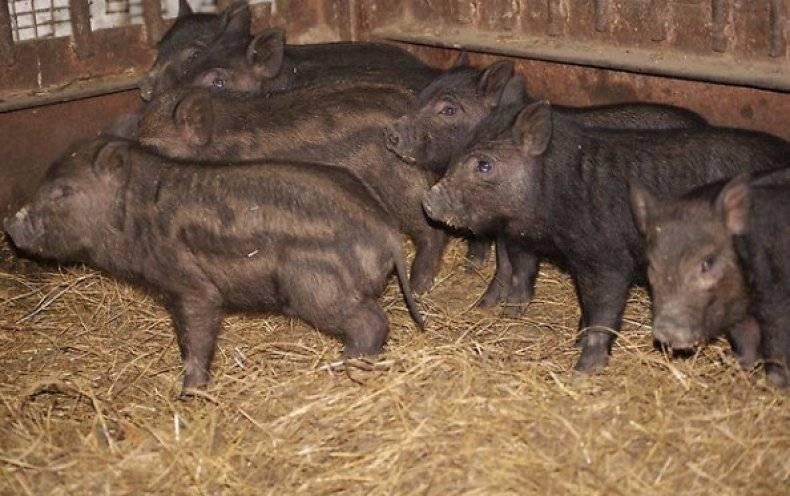 Свиноводство просто и выгодно: порода свиней кармалы