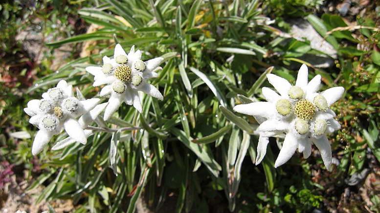 Эдельвейс альпийский: описание и выращивание цветка