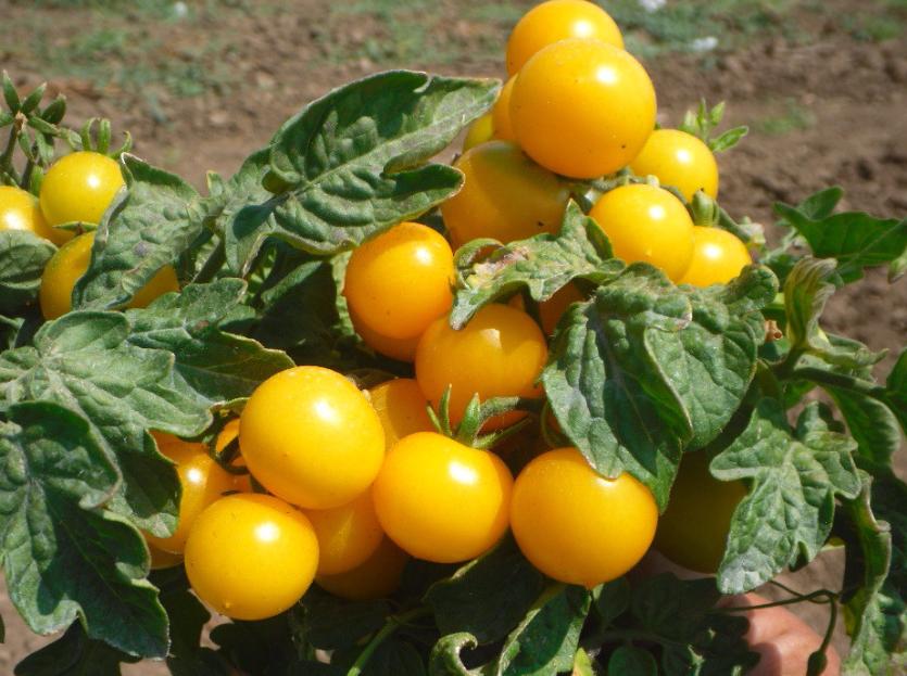 Сорт томата «ляна»: описание, характеристика, посев на рассаду, подкормка, урожайность, фото, видео и самые распространенные болезни томатов