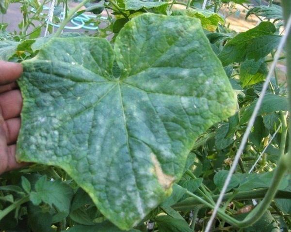 На листьях огурцов появились белые пятна: почему и что делать
