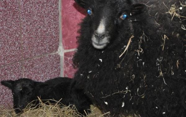 Породы овец: какие бывают и как выбрать?