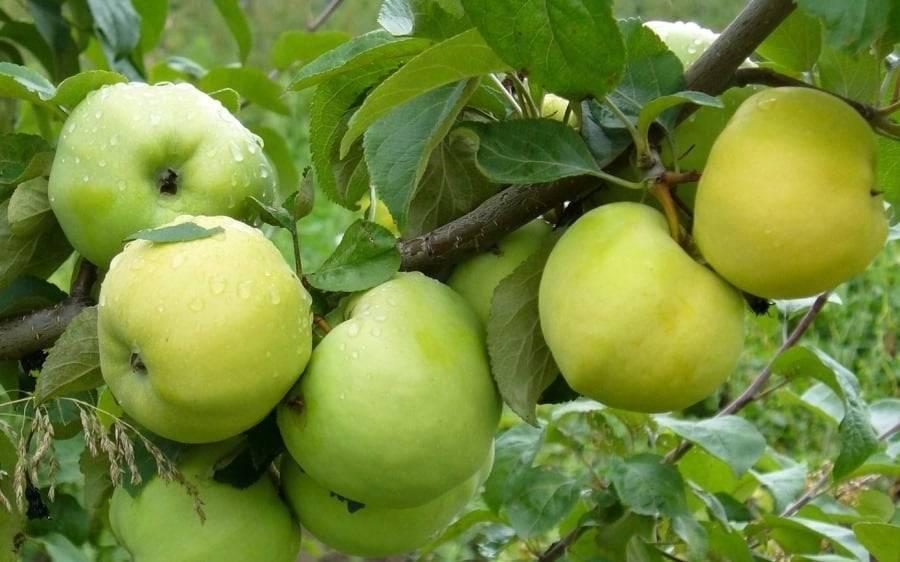 Одарит вас вкусными плодами прекрасная внешне яблоня сорта елена