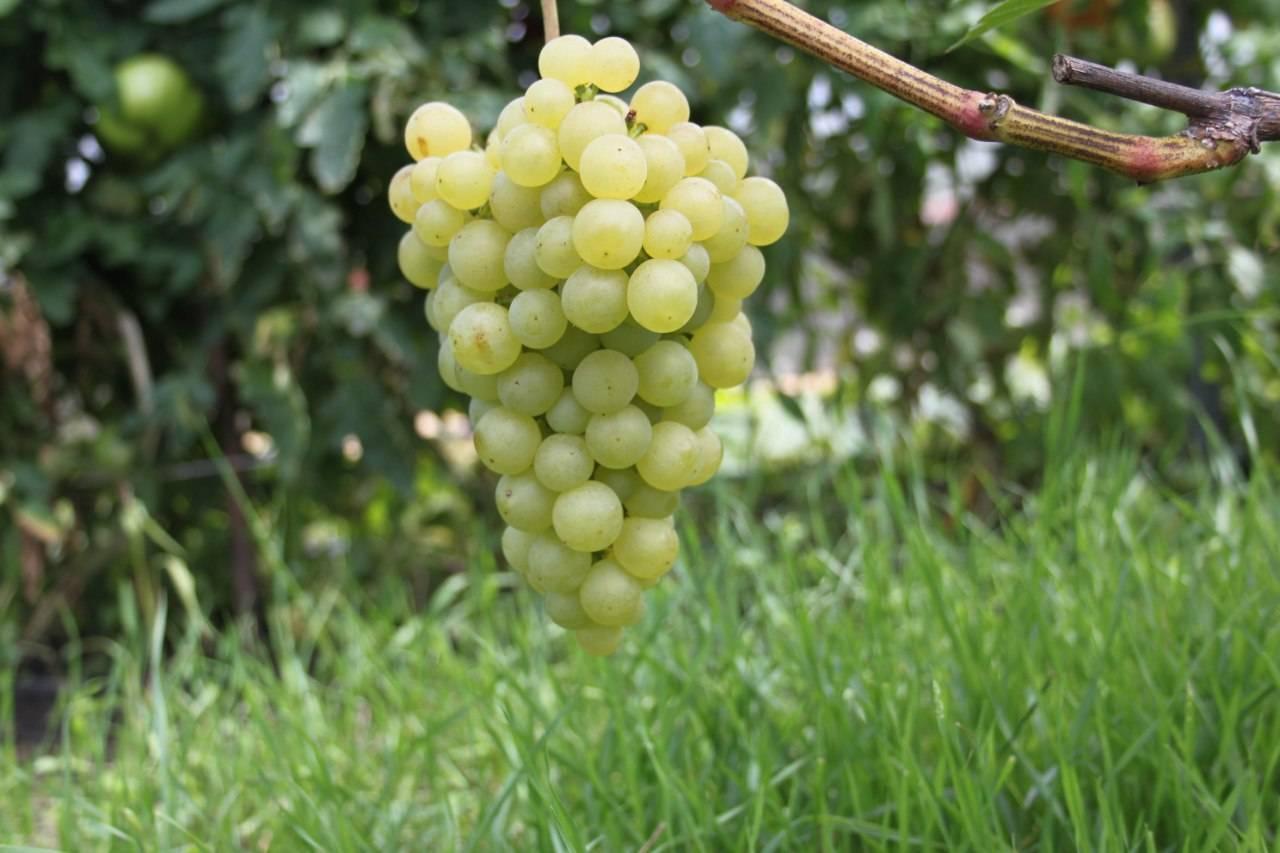 Как вырастить виноград на балконе?