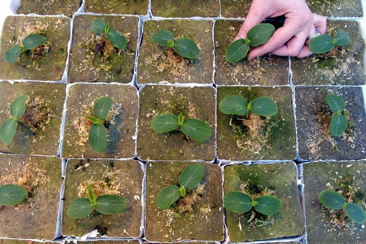 Особенности посадки огурцов под пленку
