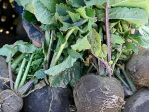 Когда убирать зеленую редьку с грядки, чтобы овощ сохранил ценный состав и товарные качества? полезные рекомендации