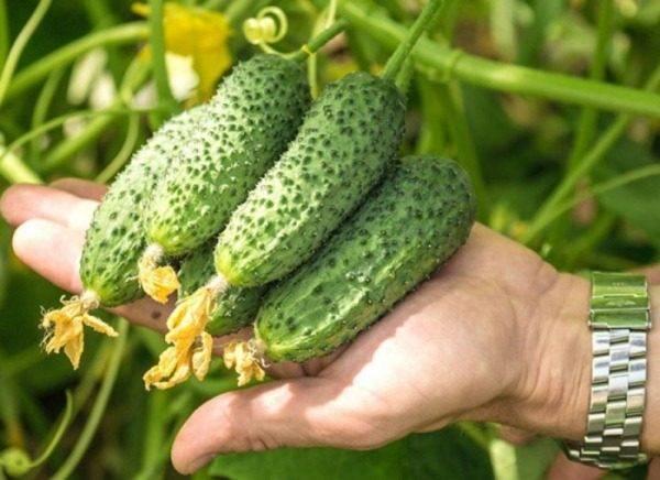Огурец амур f1: выращиваем высокоурожайный гибрид на грядке