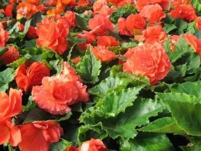Бегония садовая: выращивание в открытом грунте, посадка и уход