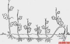 Как размножить виноград воздушными и зелеными отводками весной, летом и осенью