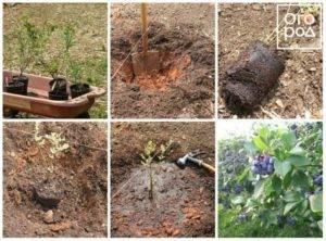 Высокорослая садовая голубика блюкроп — эталонный сорт