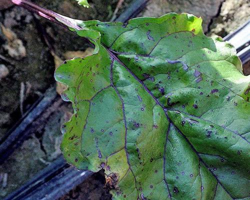 Выращиваем ревень — незаслуженно забытое растение на нашем огороде
