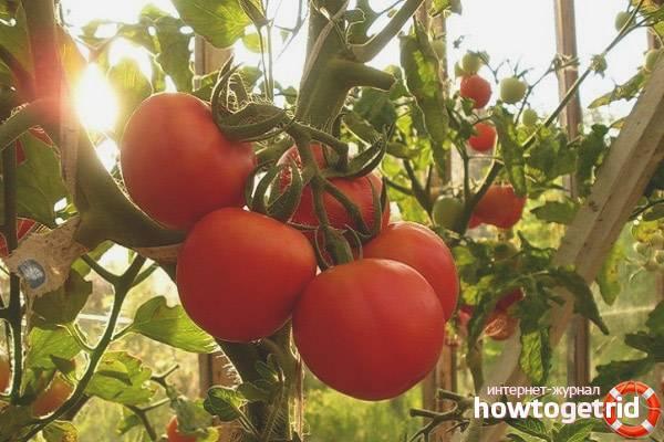 Описание сорта томата изобильный f1, его характеристика