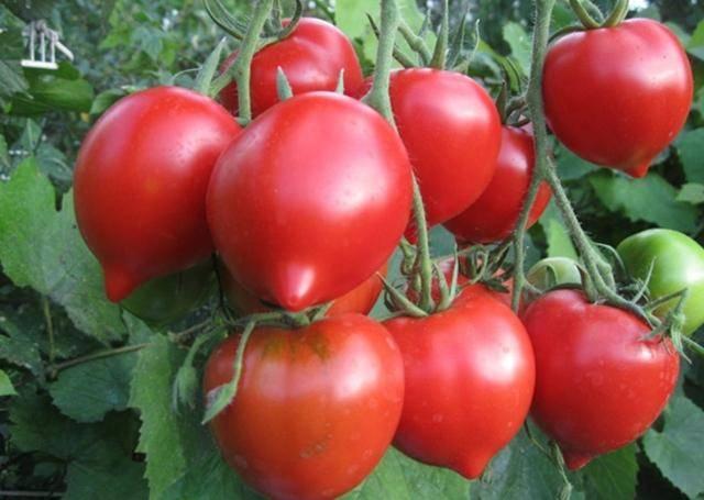 Сорт томата «миллионер»: фото, видео, отзывы, описание, характеристика, урожайность