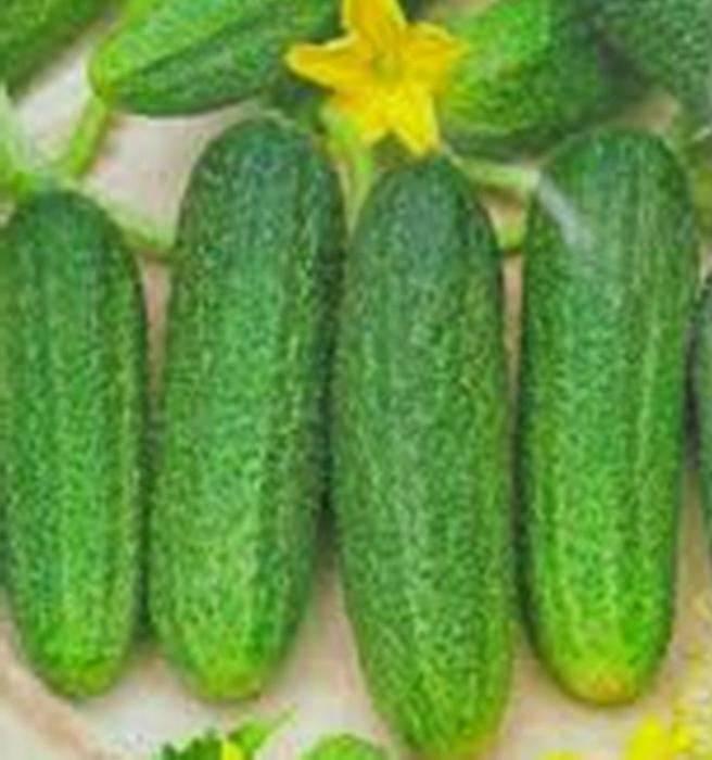 Особенности выращивания, характеристика и описание огурцов сорта либелла f1