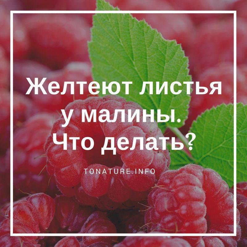 Сохнут листья и ягоды малины — как бороться с увяданием?