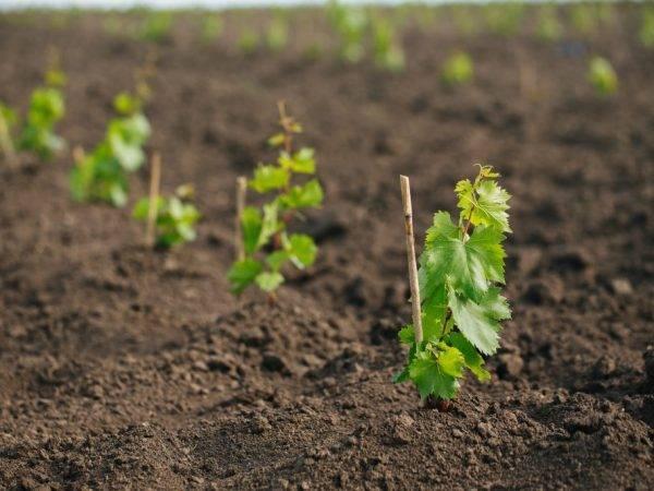 Как правильно сажать виноград саженцами весной?