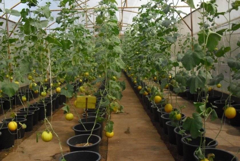Способы и приёмы выращивания дыни в теплице