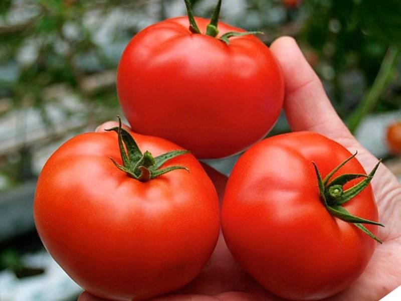 На 100% подходящий сорт томатов для выращивания в открытом грунте — ямал