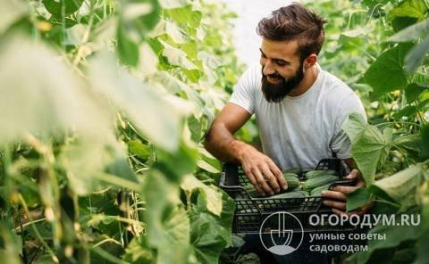 Описание сорта огурцов лютояр, особенности выращивание и ухода
