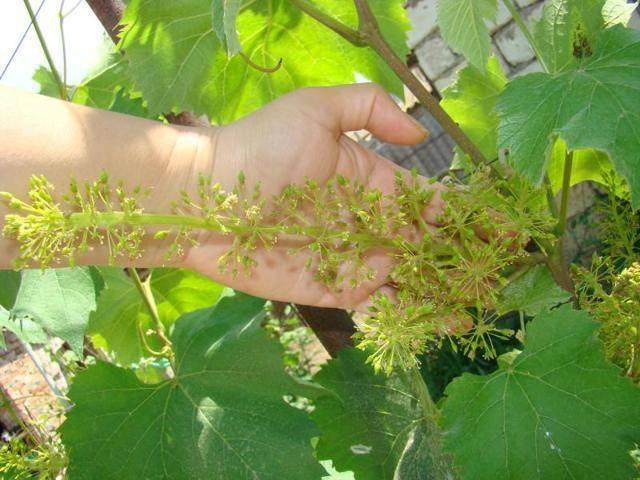 Описание и особенности винограда сорта «юпитер» сша