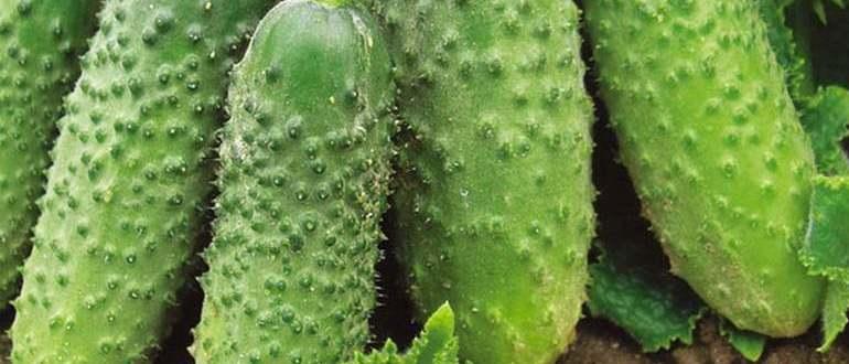 Высокоустойчивый голландский гибрид огурцов «седрик f1» для выращивания в теплице: фото, видео, описание, посадка, характеристика, урожайность, отзывы