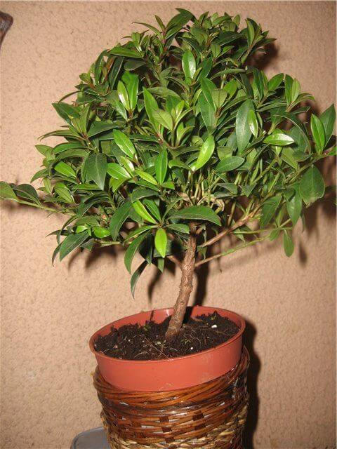 Денежное дерево: уход и выращивание в домашних условиях