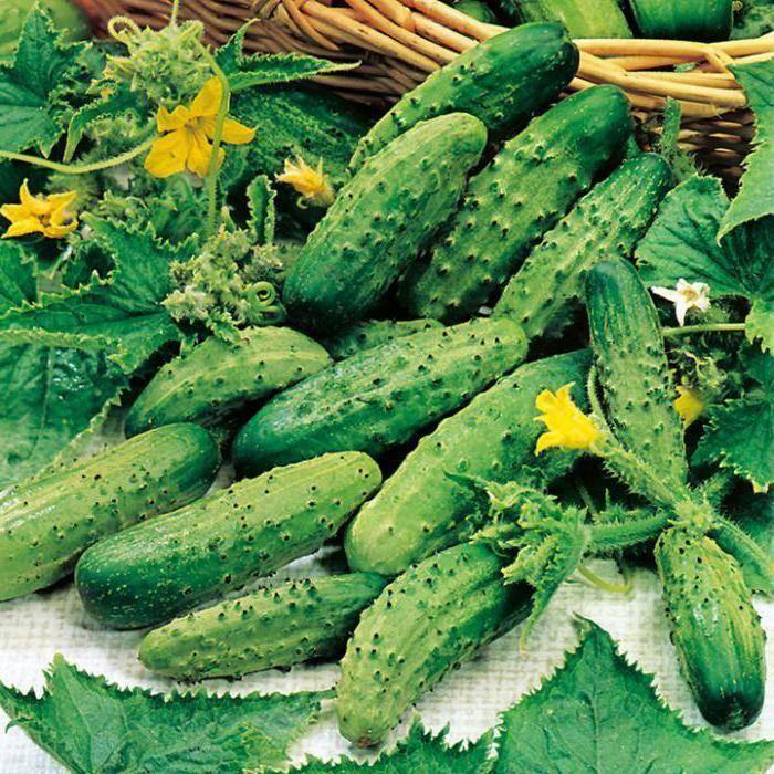 «парижский корнишон» — лучший огурец для консервирования. характеристики и особенности выращивания