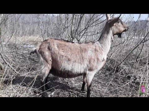 Сколько длится беременность у козы и как в это время ухаживать за животным?