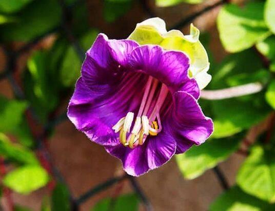 Как вырастить кобею из семян и правильно ухаживать за ней в саду. посадка кобеи в открытый грунт