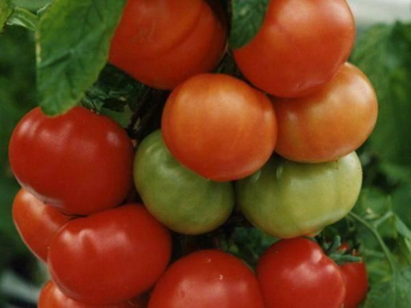 Обзор лучших сортов помидор для урала с фотографиями