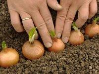 Особенности семейного лука и его выращивание
