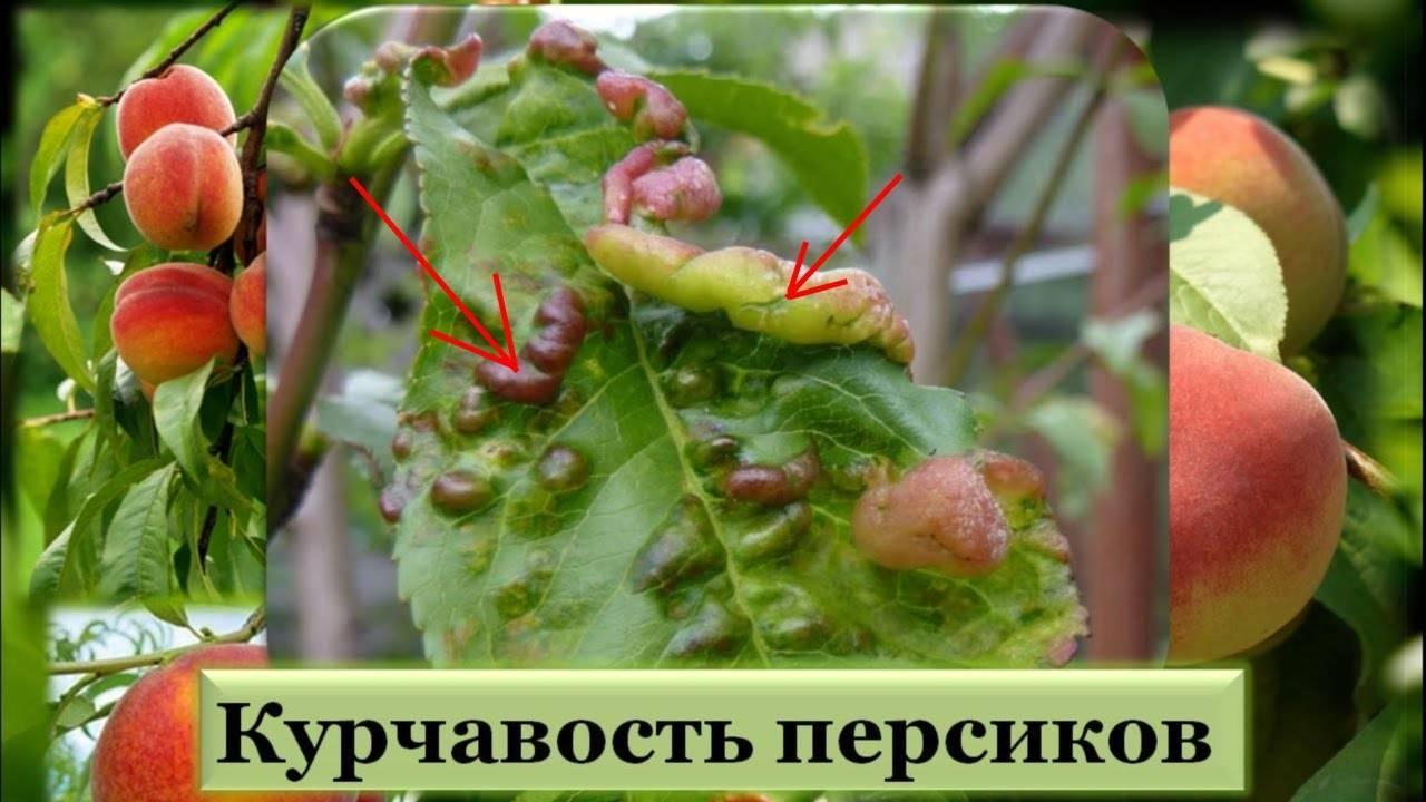 Лечим персиковый сад от курчавости