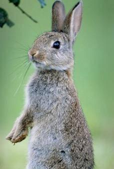 Чем отличается дикий кролик от зайца: основные признаки