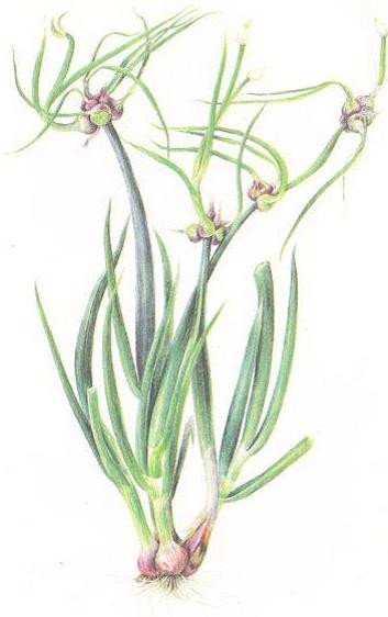 Выращиваем и едим многоярусный лук