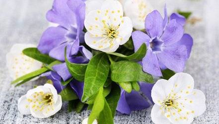 Растение барвинок лечебные свойства