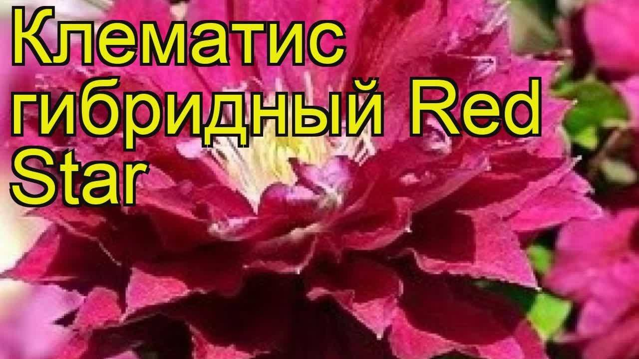 Описание и тонкости выращивания клематиса сорта Ред Стар