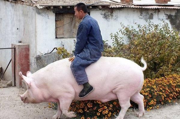 Самая большая свинья в россии