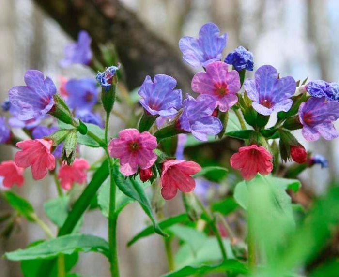 Медуница: полезные свойства и противопоказания целебного растения