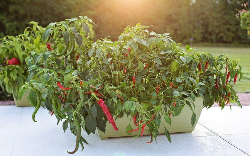 Перец чили на подоконнике — выращиваем приправу дома