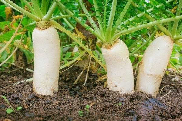 Редька дайкон: все о сортах, применении, пользе и вреде овоща