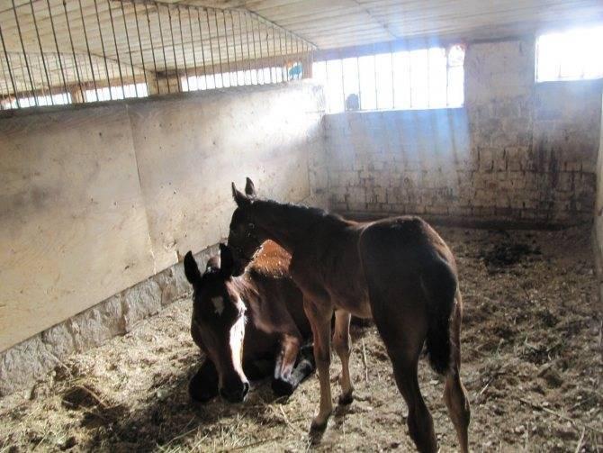 Продолжительность беременности у лошадей