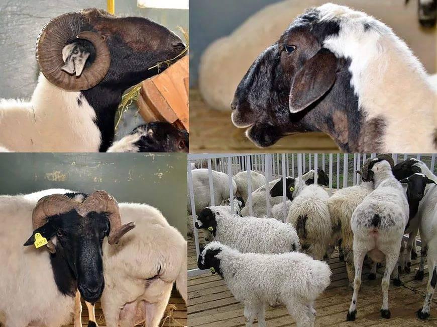 Курдючный баран: разновидности породы, описание и содержание
