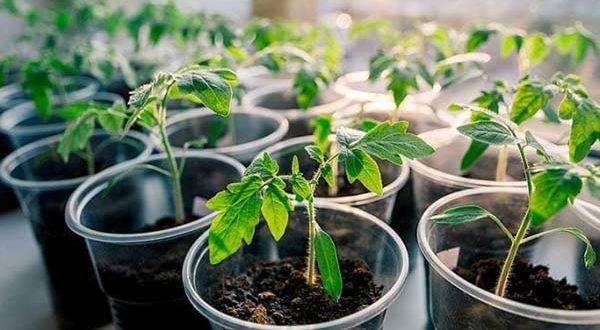 Сажаем помидоры на рассаду: лучшие даты и инструкции по получению крепкого молодняка