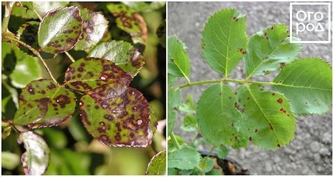 Мучнистая роса на розах, меры борьбы и лечение