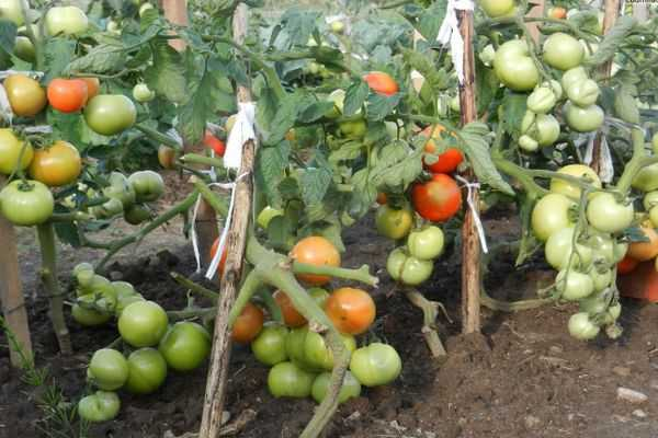 Описание сорта томата флорида f1 и его характеристика
